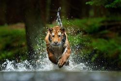 Wildlife Asia. Siberian tiger running in the water, Siberia. Dangerous animal, taiga, Russia. Animal in green forest stream. Amur tiger splashing water.