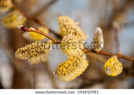 \nWillow branches with buds. Beautiful pussy willow flowers branches. Soft floral spring frame with very shallow DOF on nature background. Flowering willow. This is Eared willow (Salix aurita).\n