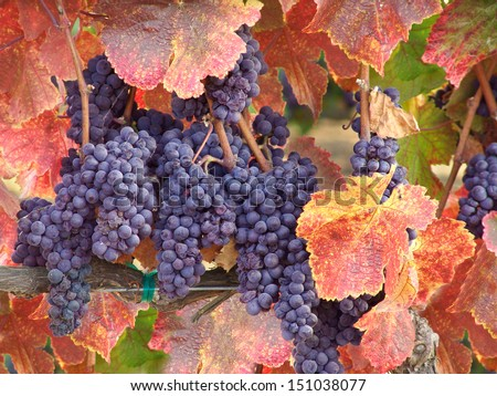 Wine Grapes on the Vine in Autumn Ready for Harvest