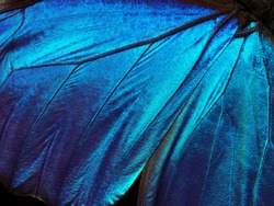 Wings of a butterfly Morpho texture background.  Morpho butterfly closeup.