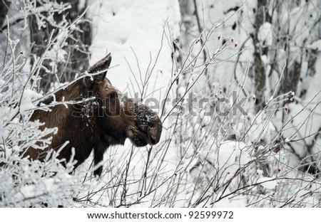 Winter Portrait of an moose. An moose in snow-covered bushes.Alaska moose, Tundra moose, Yukon moose (Alces alces gigas), female in winter, USA, Alaska