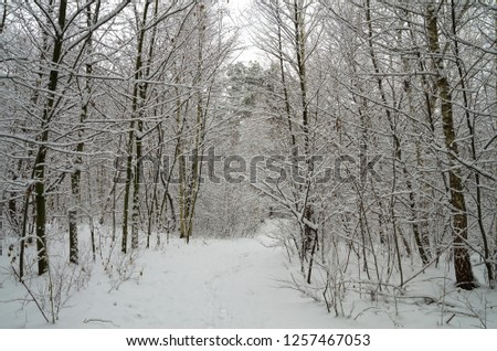 Winter snow forest. Snow lies on the branches of trees. Frosty snowy weather. Beautiful winter forest landscape. #1257467053