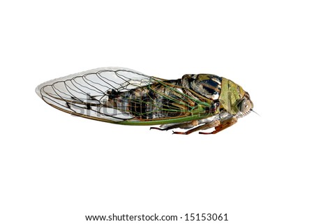 17 Year Cicada, Houston Texas, USA