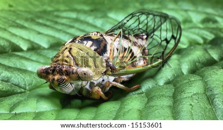 17 year Cicada on Leaf