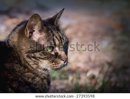 15-year old domestic tabby cat.