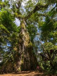 600 year old kapok tree (ceiba pentandra) near the Rio Celeste, Costa Rica