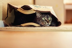 9 year old male tabby cat lying in a brown paper bag -- image taken indoors in Reno, Nevada, USA