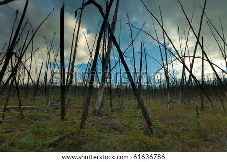 12 years after the forest fire, new trees are growing among charred logs.