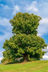 250 years old Big-leaved linden tree (Tilia platyphyllos)