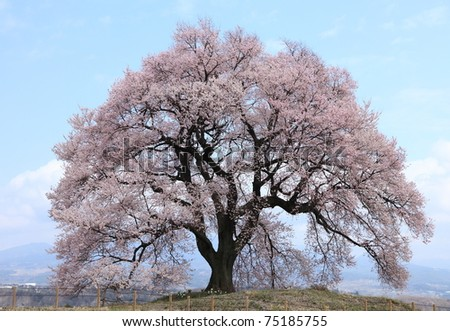 300 years old Cherry blossom at Wani-tsuka, Yamanashi, Japan