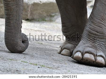 40 years old female elephant in a zoo, detail of feet and trunk.