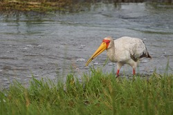Yellow-billed stork Mycteria ibis also called wood stork or wood ibis arge African wading stork family Ciconiidae Portrait