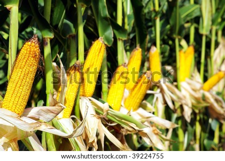 Yellow corn in agricultural field. - stock photo