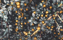 Yellow golden winter berries on bush as festive christmas vintage retro floral holiday pattern backdrop background toned in cold colors tones