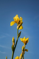 yellow iris flowers against the sky