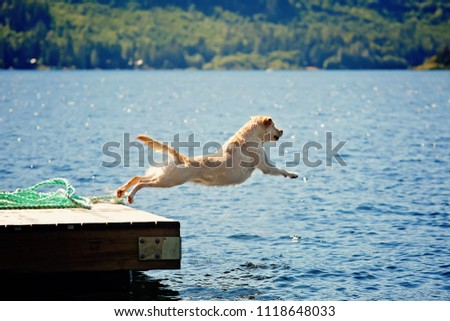 yellow lab dog jumps off dock at lake