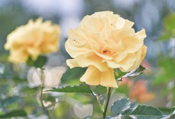 Yellow rose flower after rain blooming in a rose garden. Spring flower background.