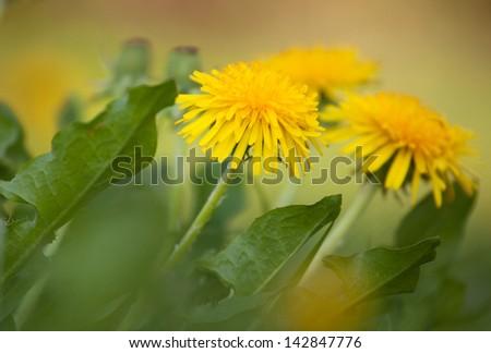 Yellow summer dandelions, closeup shot