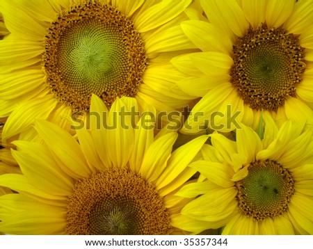 yellow sunflowers macro
