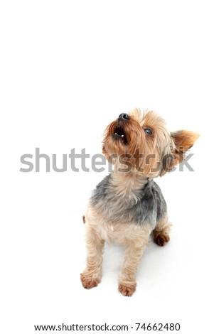 """""""Yorkie"""" Terrier"""