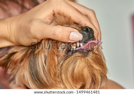 Yorkshire Terrier dog teeth, canine dentist                           #1499461481