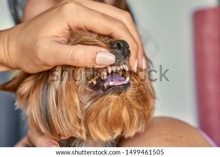 Yorkshire Terrier dog teeth, canine dentist                           #1499461505