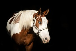 young american paint horse posing on black background