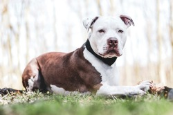 young american pitbull terrier in forest