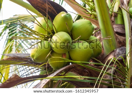 Young coconut bunches on the tree.