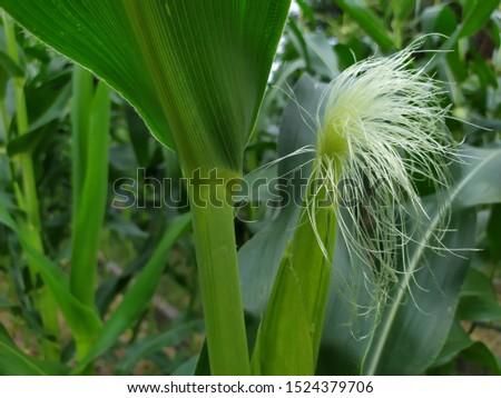 ัyoung corn with corn silk #1524379706
