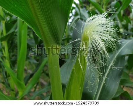 ัyoung corn with corn silk #1524379709