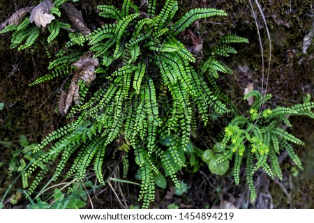 Young fern sliders in nature.A fern is a member of a group of vascular plants  #1454894219