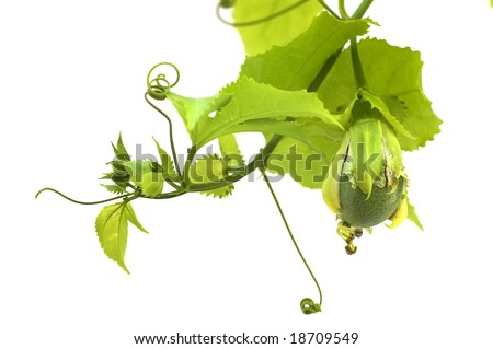 Young fruit passion fruit on a branch,isolated on white
