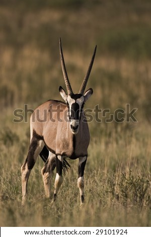 Young Gemsbok standing in grassland; oryx gazella; South Africa