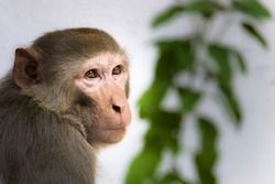 Young monkey also know as the Rhesus Macaque sitting under the tree and looking at a distance
