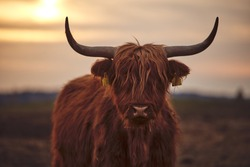 Young Scottish Highland Beef Cattle closeup