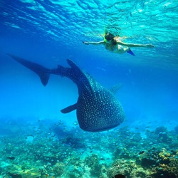Young woman snorkeling underwater looks at a large whale shark. Philippines
