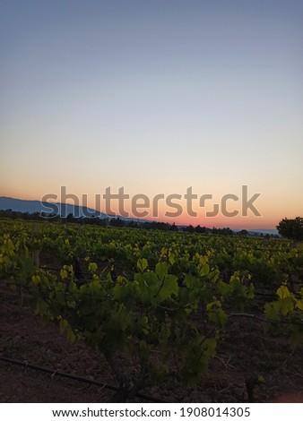 Üzüm bağları ve gün doğumu Stok fotoğraf ©