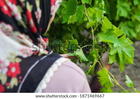 üzüm bağında asma yaprağı toplayan kadın Stok fotoğraf ©
