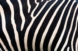 Zebra background. Zebra skinning pattern.