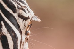Zebra eye from close up