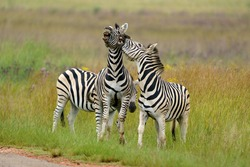 Zebra Fighting in mating season over dominance. Dominating the rival male counterparts to mate with the females in the herd. Rietvlei South Africa Pretoria