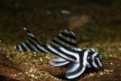 zebra pleco or Imperial Place (Hypancistrus zebra)