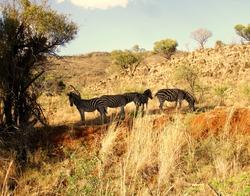zebras in the bush veld of South Africa
