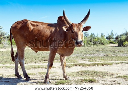 Zebu, sometimes known as humped cattle