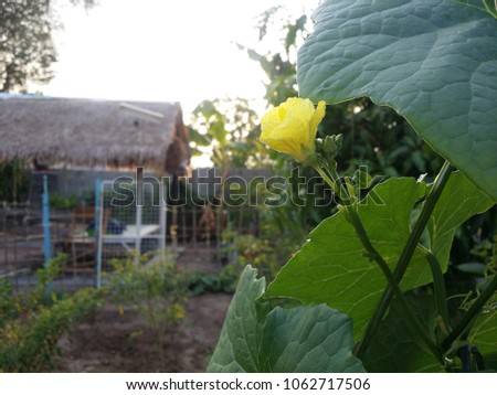 Zucchini is blossoming. #1062717506