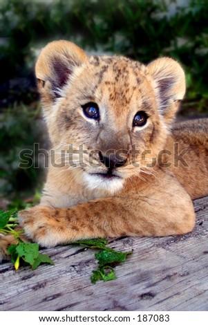 ライオンの子 - stock photo