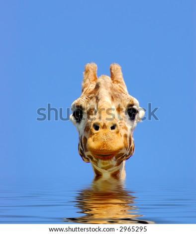 长颈鹿数字式� ��合看直接浏� �器柔和地起波 纹水。 - stock photo