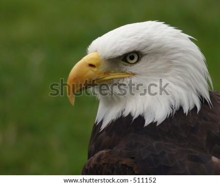 白头鹰配置文� �� - stock photo