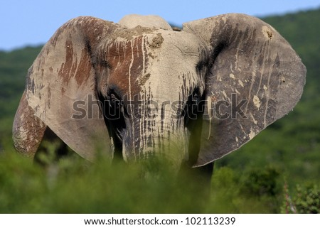 A african elephant painted full of mud approaches from behind a bush in Addo elephant national park,eastern cape,south africa